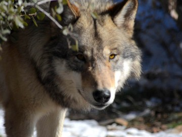 Giving Wolves a Voice Through the Documentary 'Freedom of the Pack'